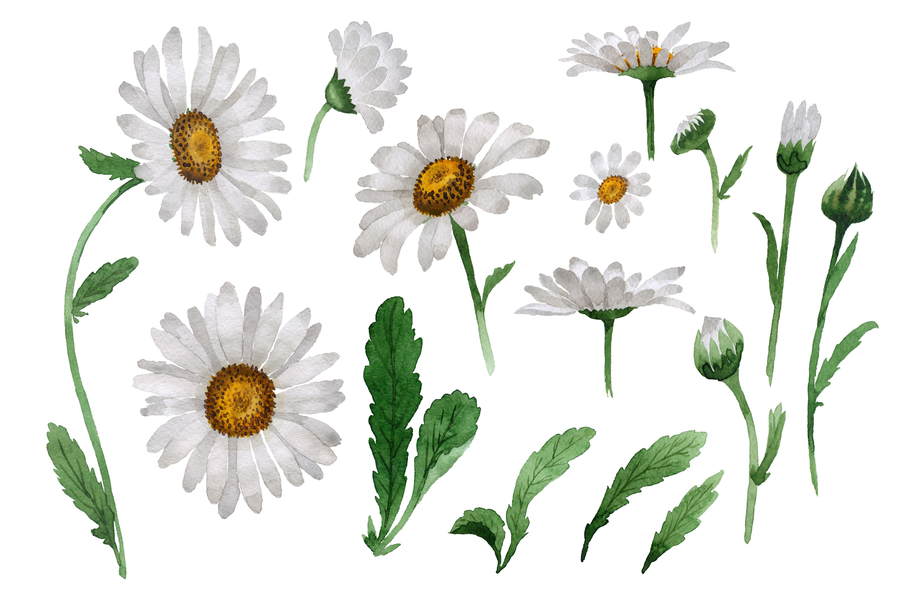 Beautiful flower white png. Daisy clipart daisy leaves
