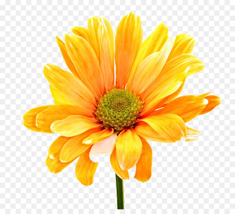 Flowers background transparent . Daisy clipart large flower