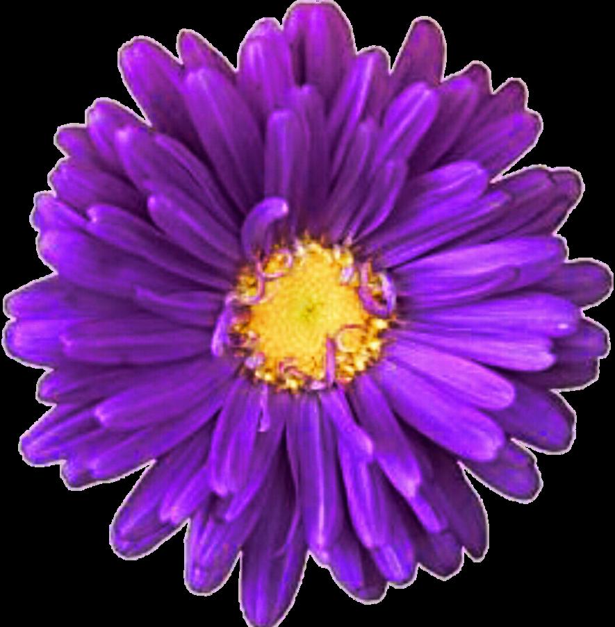 By jeanicebartzen on deviantart. Daisy clipart purple