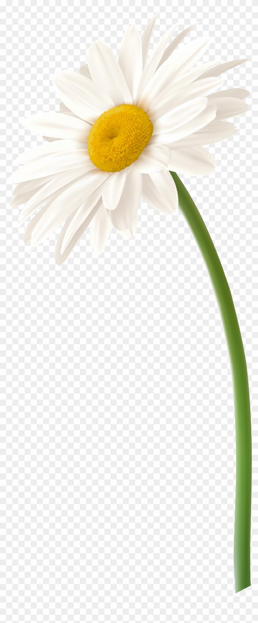 Daisy clipart sad. Gerbera at getdrawings white