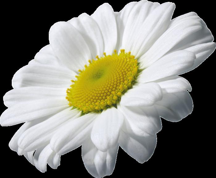 Margarita flower frames illustrations. Daisy clipart small daisy