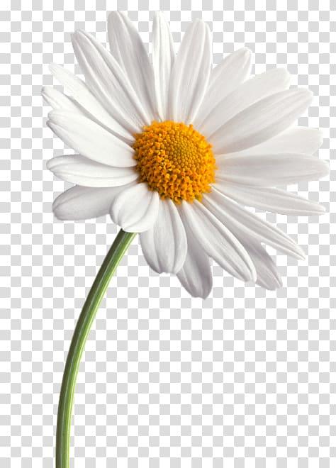 Common flower family transvaal. Daisy clipart small daisy