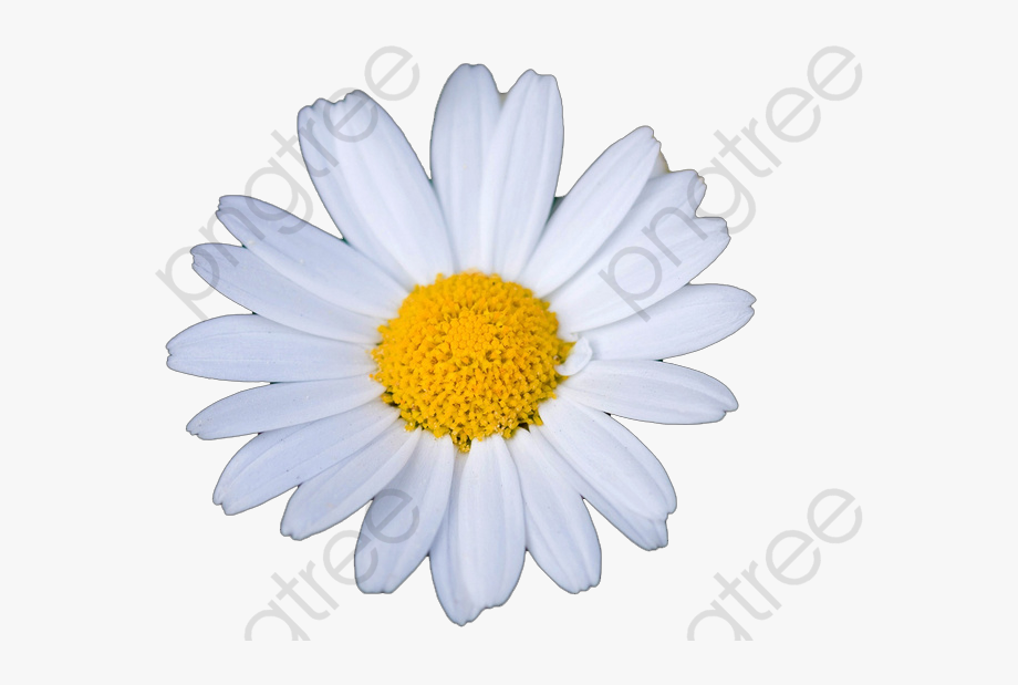 Daisy clipart small daisy. White daisies transparent oxeye
