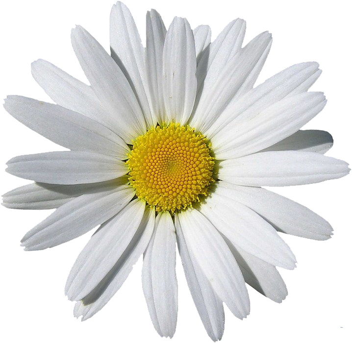 Daisies clipart transparent background. White camomile flower seven