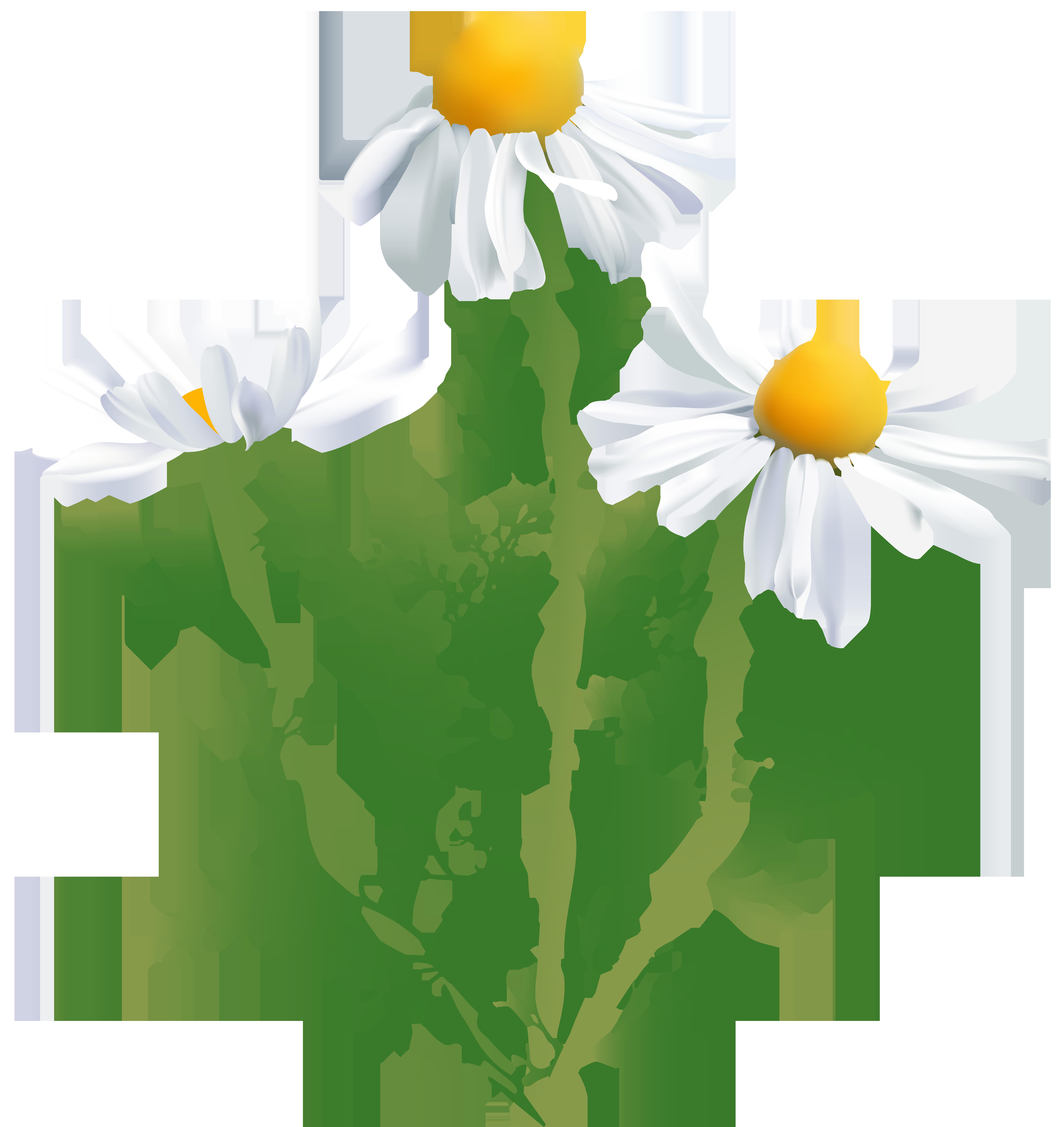 Daisy clipart wildflower. Common chamomile oxeye clip