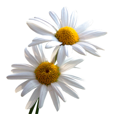 Daisy flower png. Index of users tbalze