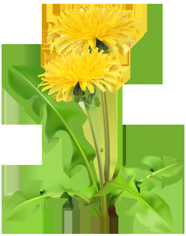 Dandelion clipart grass, Dandelion grass Transparent FREE ...
