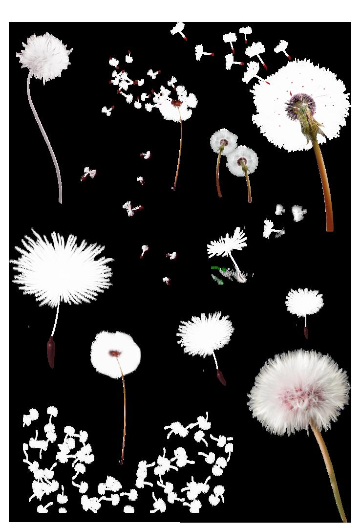 Google images clip art. Dandelion clipart pink dandelion