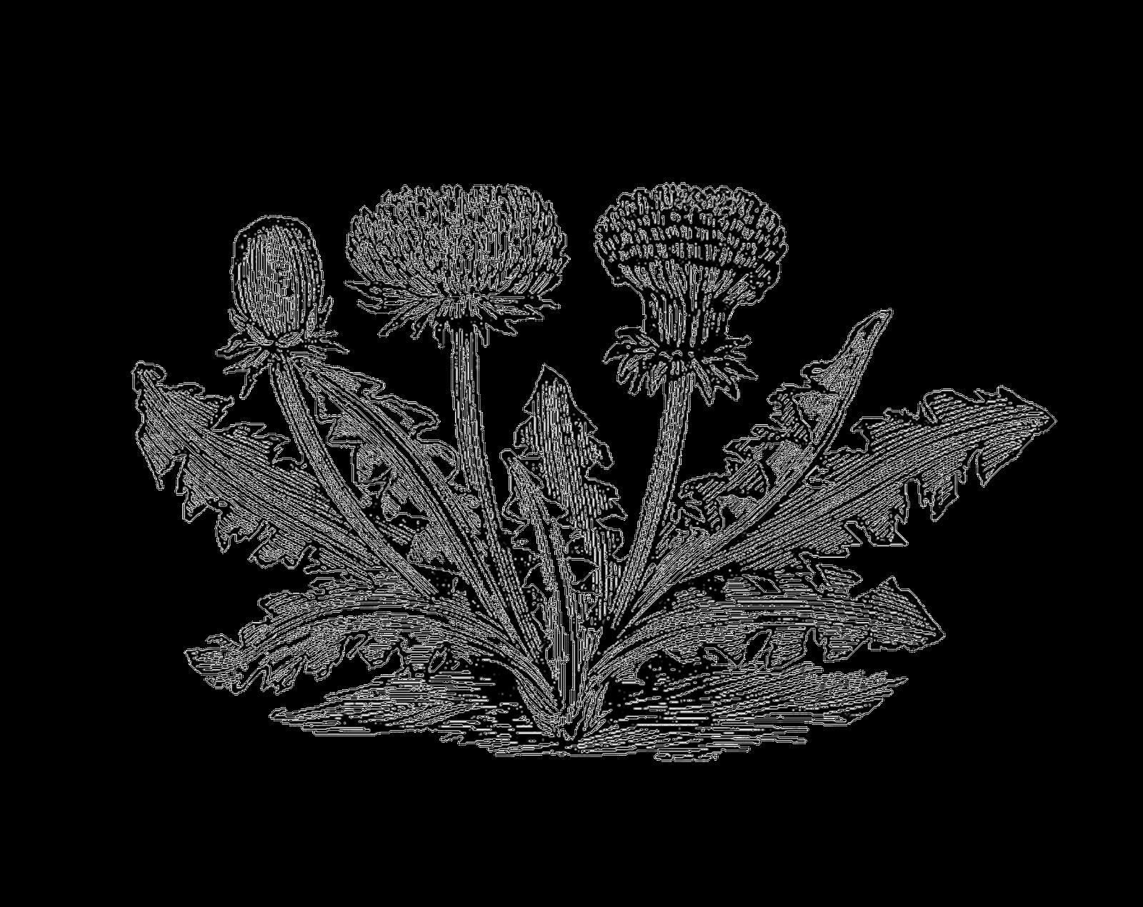 Antique images vintage botanical. Dandelion clipart royalty free