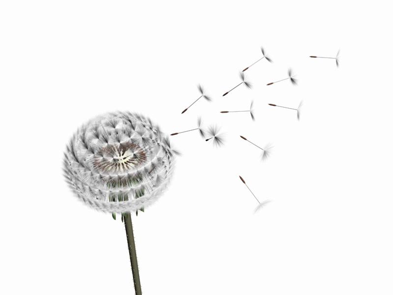Dandelion clipart stock photo. Hd png transparent images