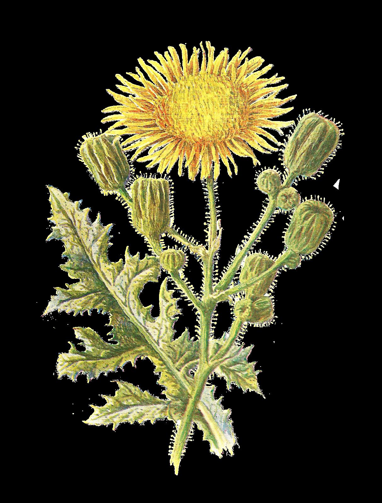 Dandelion clipart wildflower. Antique images vintage scrapbooking