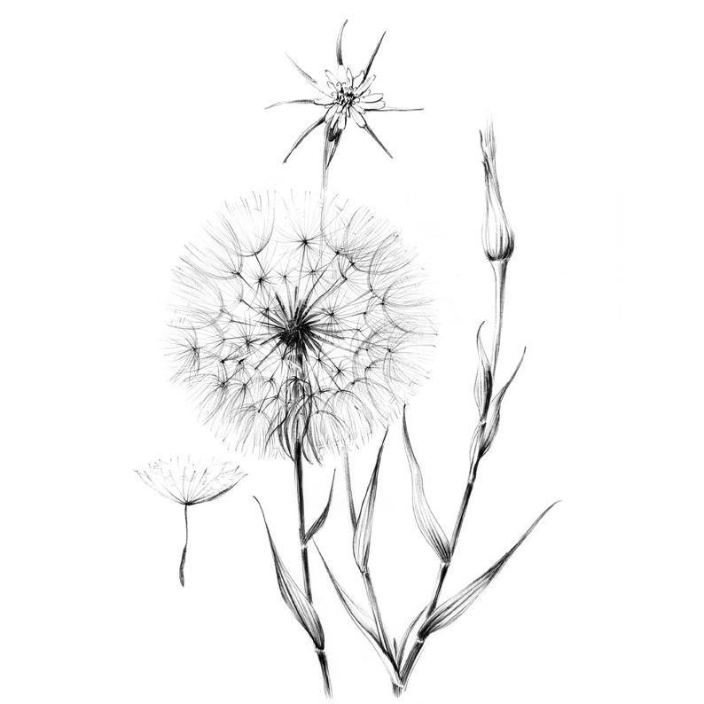 Sketch wild flower hygge. Dandelion clipart wildflower