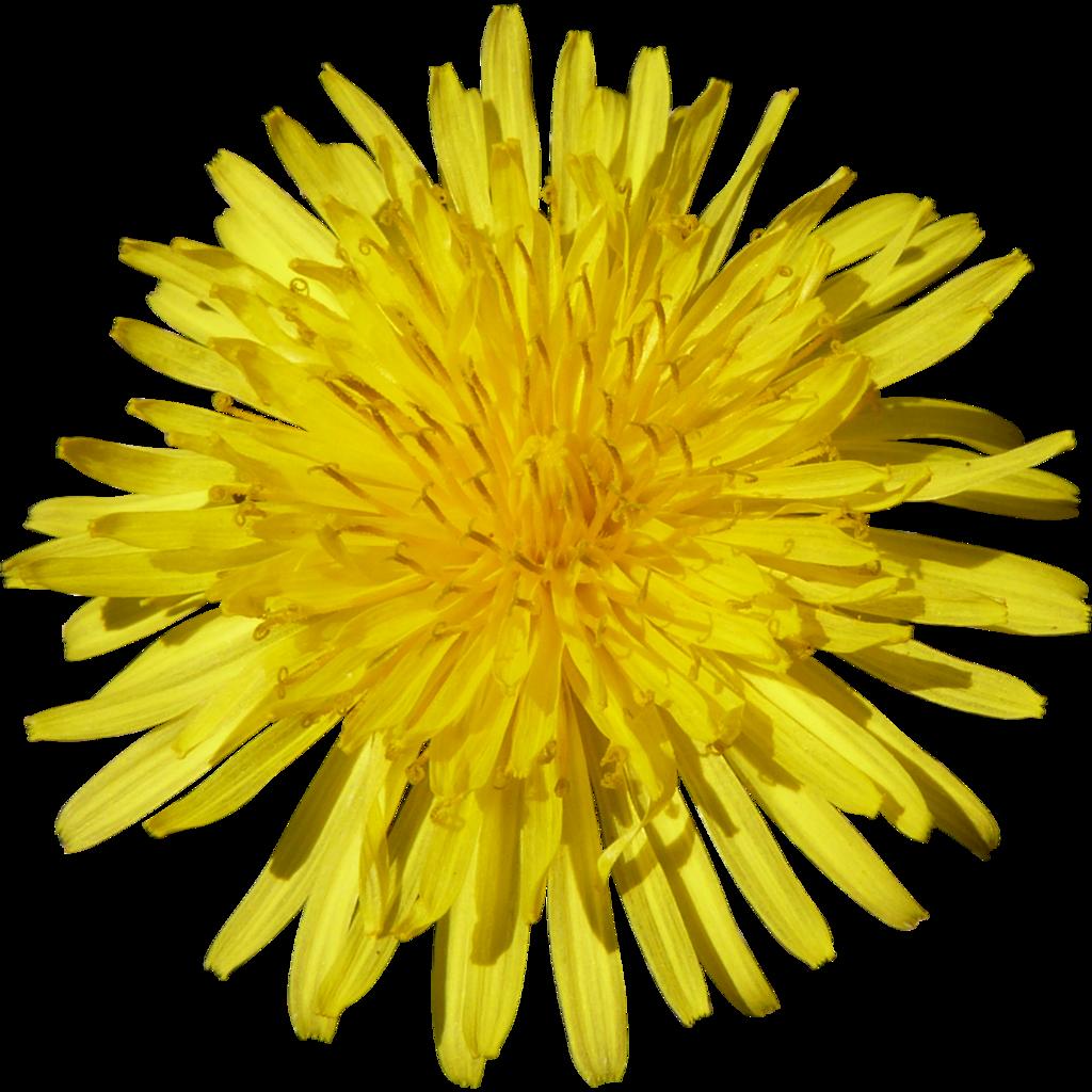 Dandelion clipart yellow dandelion. Png image purepng free