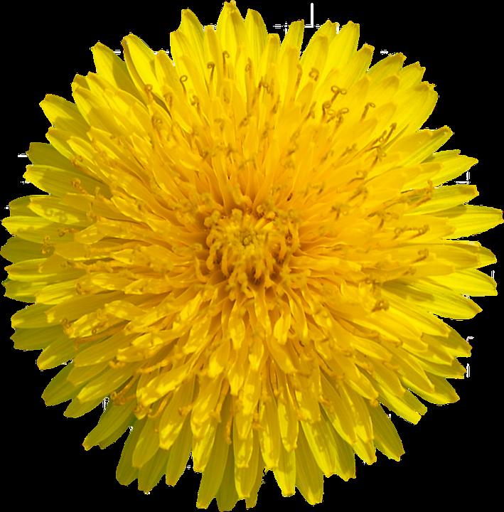 Png transparent image mart. Dandelion clipart yellow dandelion