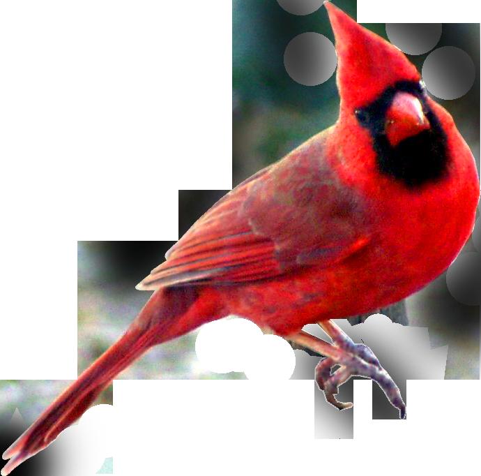 Cardinal clipart clip art. Image red carainal bird