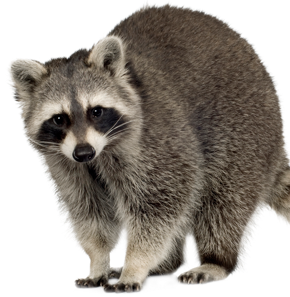 Racoon clipart mammal. Wildlife and dead animal