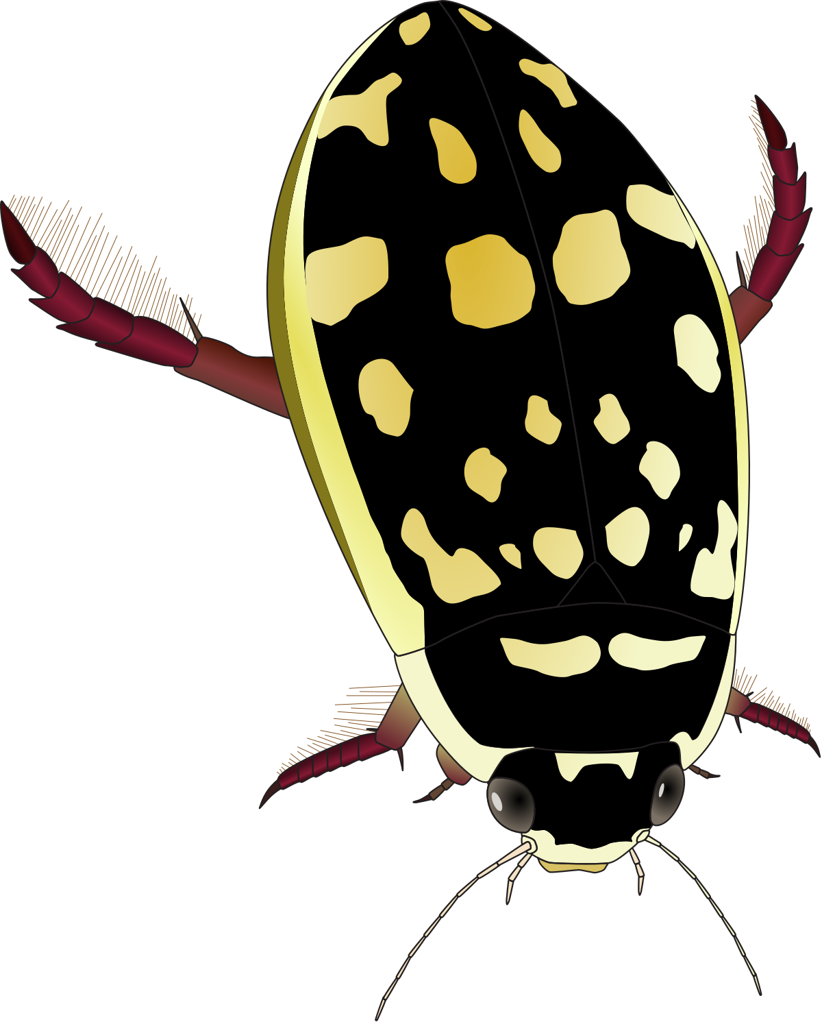 Thermonectus marmoratus wikipedia . Insects clipart desert insect