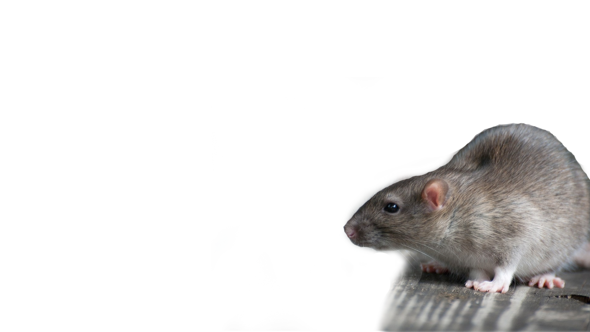 Rat clipart vermin. Best control attic cleaning