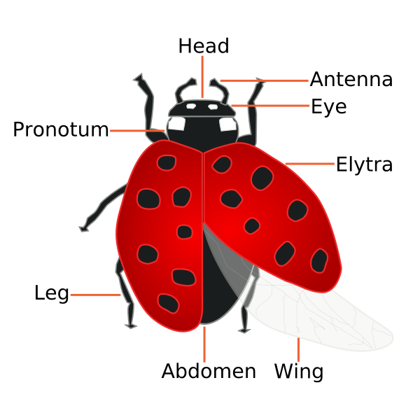 Ladybugs clipart red ladybug. The facts about how