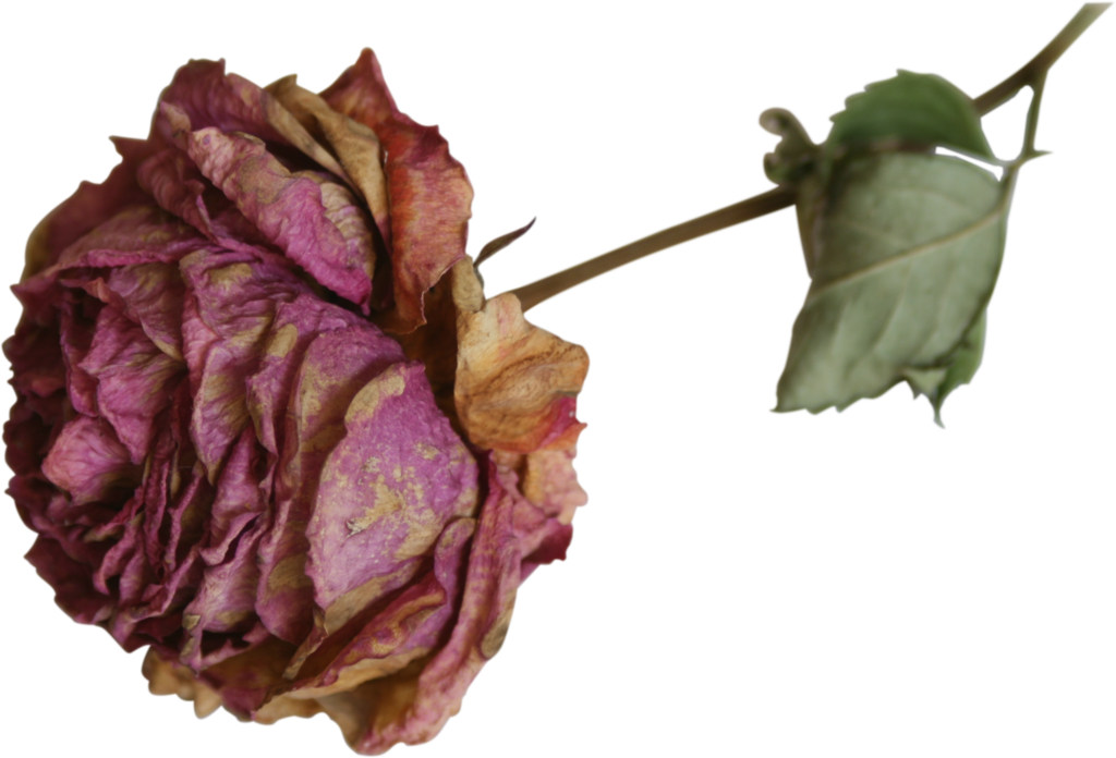 Roses dried rose precut. Dead flower png