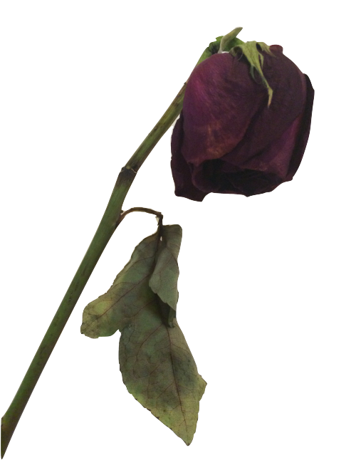 Dead flower png.  death for free