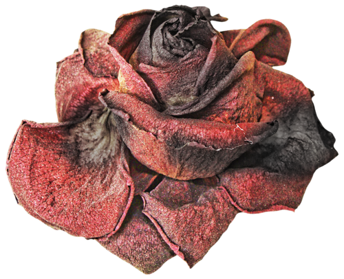 Rose by karahrobinson art. Dead flower png