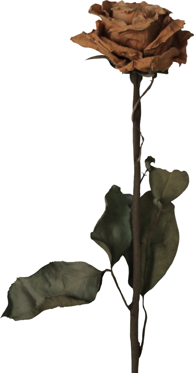Dead flower png. Rose withered by thy