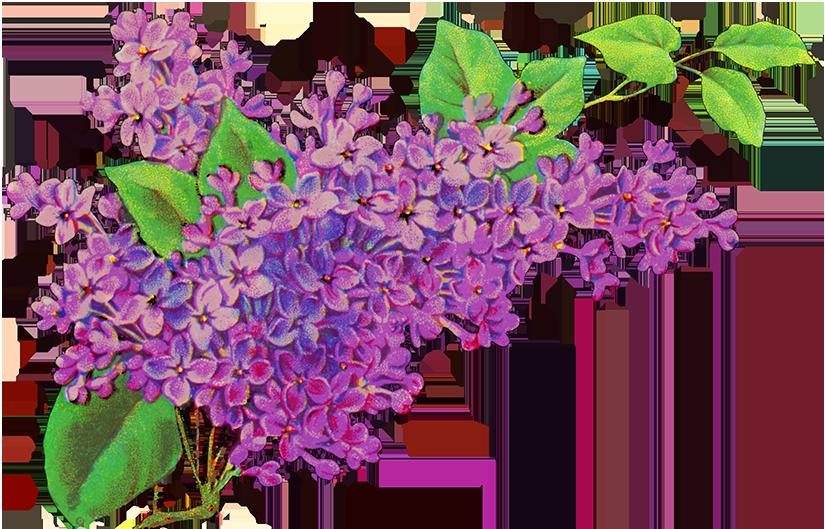 Digital scrapbooking flowers liliac. Lavender clipart lavender floral
