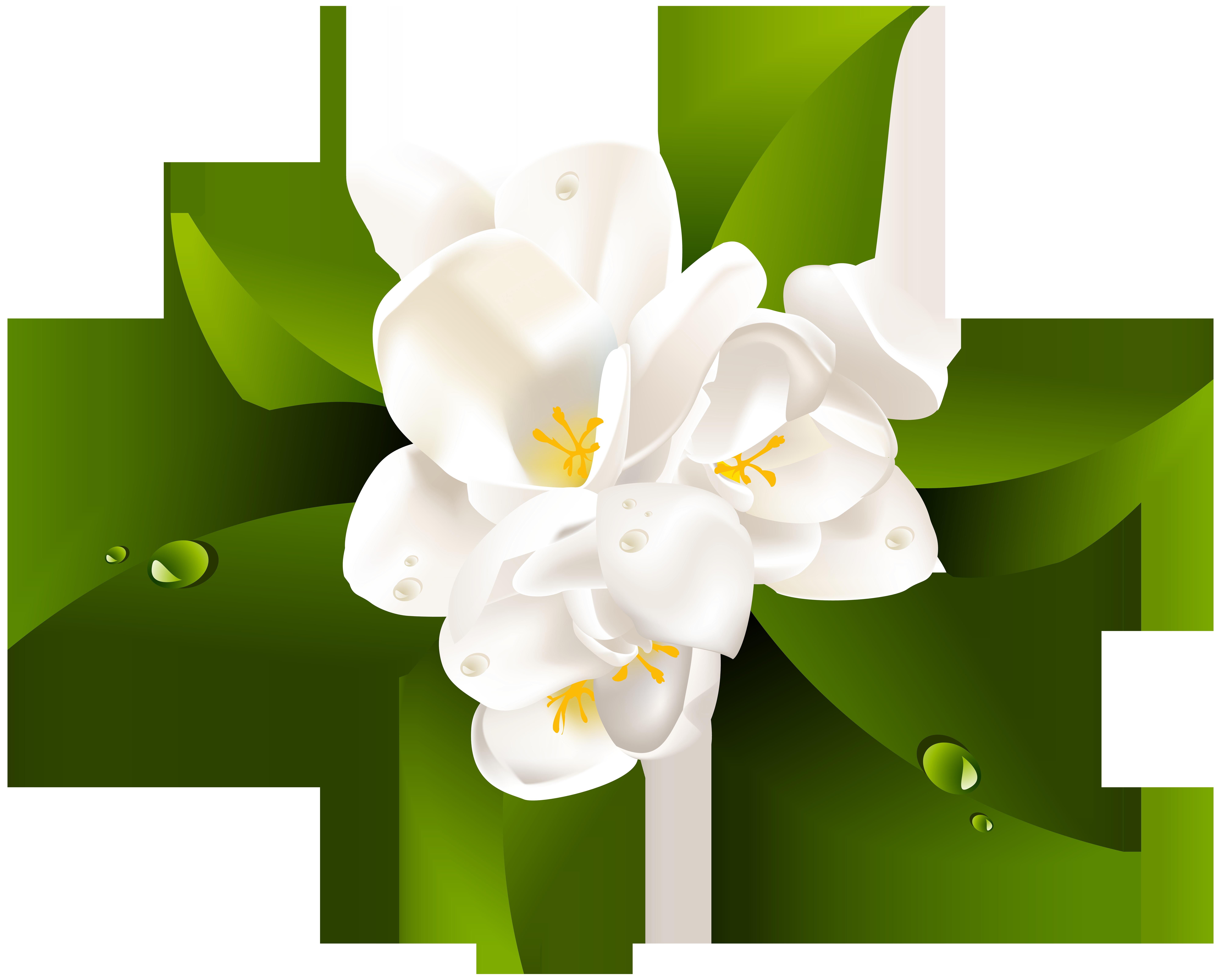 Lily clipart blue jasmine. White flower transparent clip