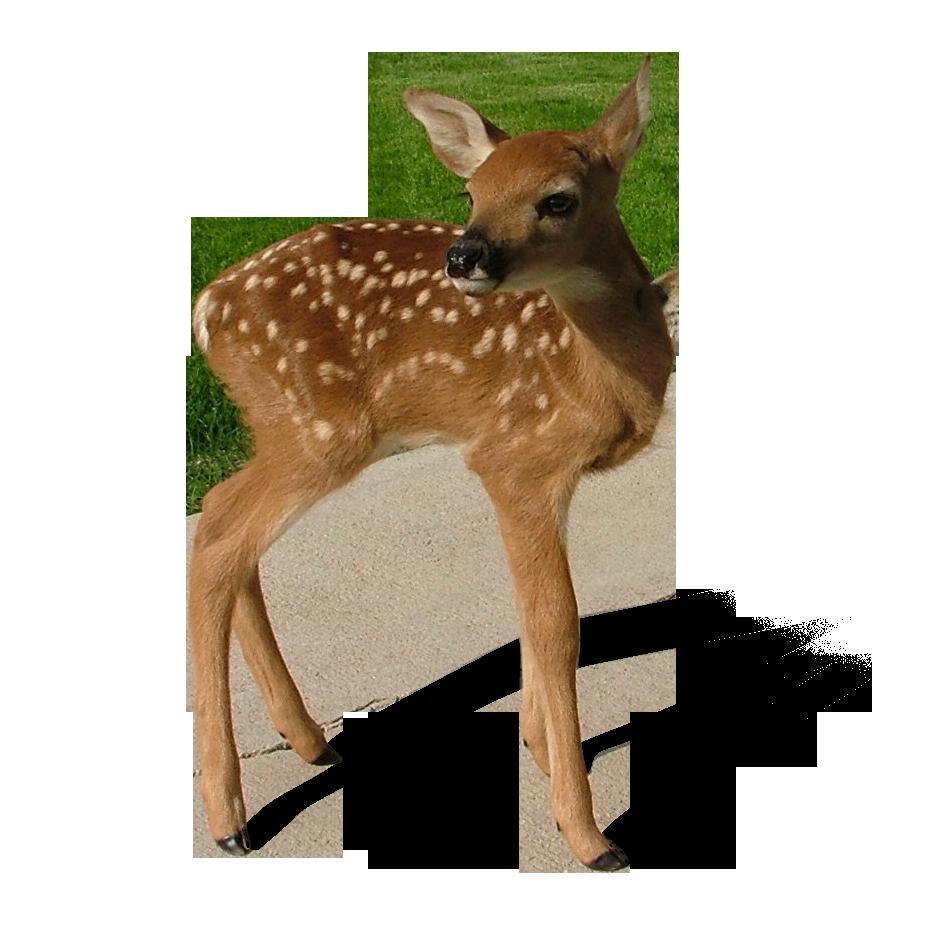 Transparent png mart. Deer clipart baby deer