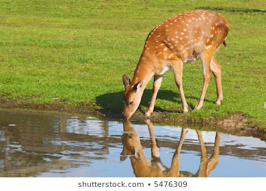 Water portal . Deer clipart drinking