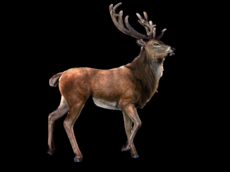 Elk png by lg. Deer clipart fallow deer
