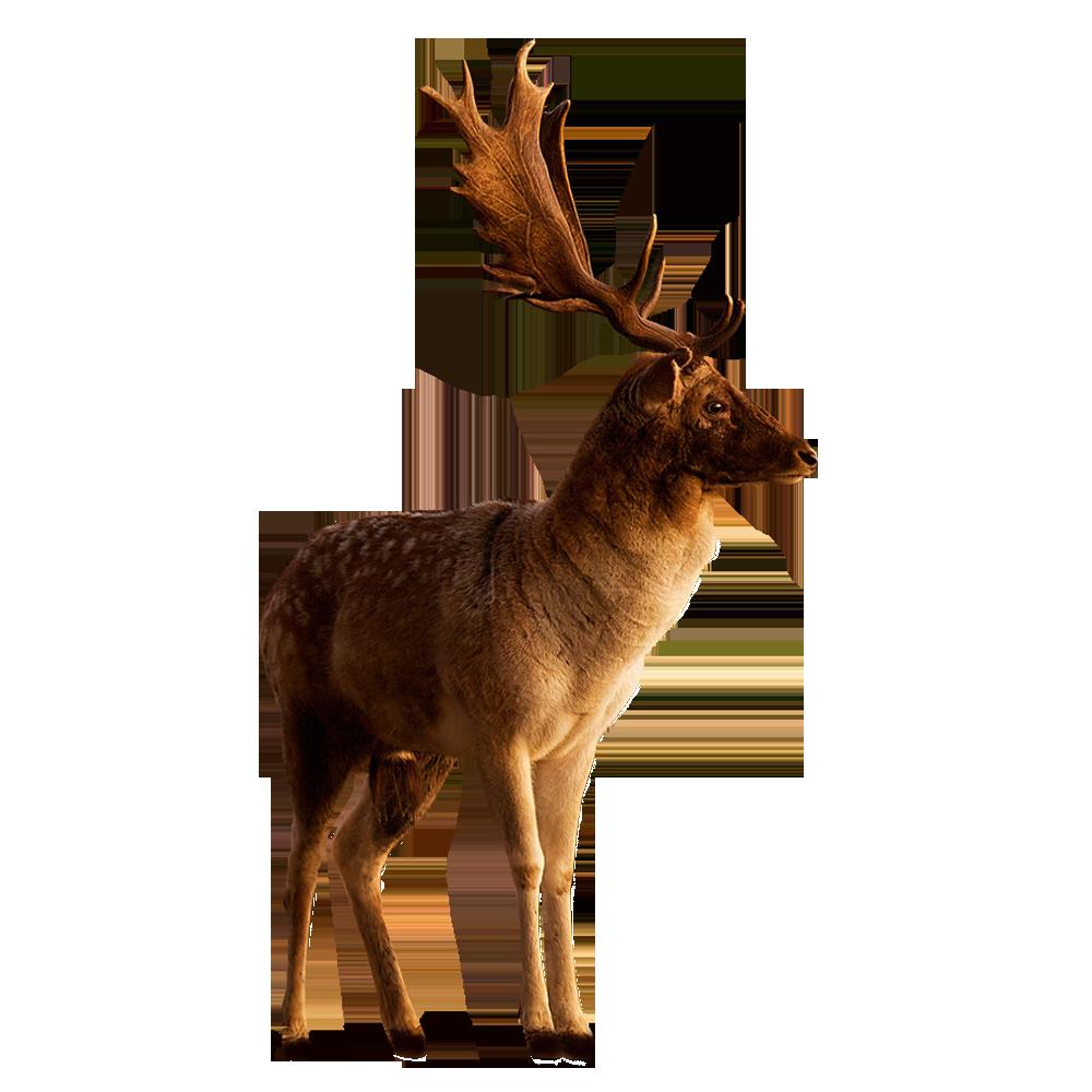Png image llatok pinterest. Deer clipart fallow deer