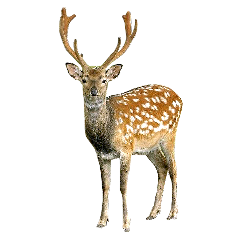 Deer clipart female deer. Png images bulk collection
