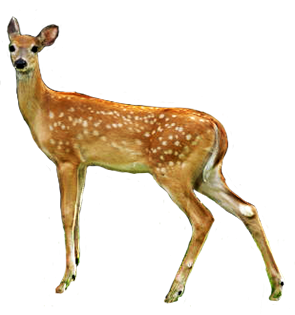 Deer clipart female deer. Download free png transparent