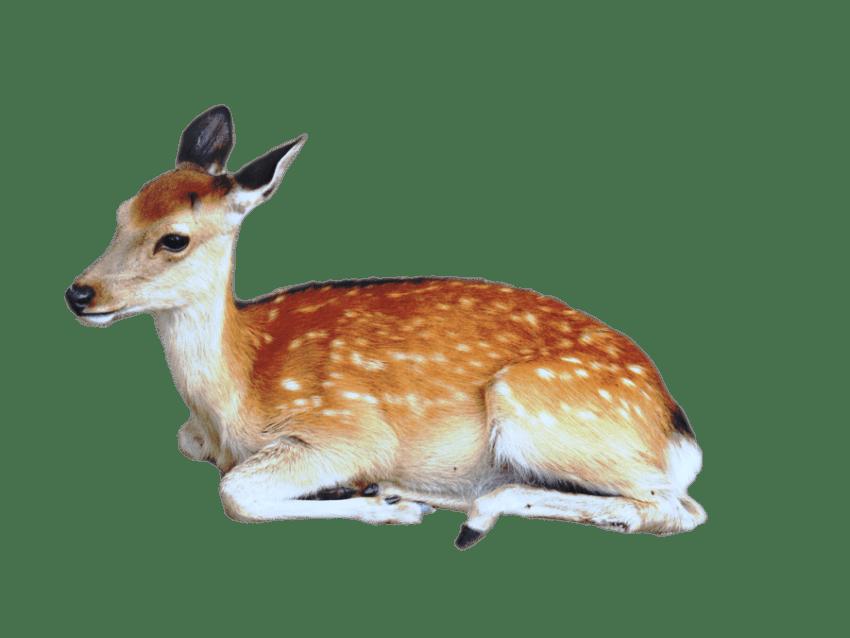 Deer clipart golden deer. Brown with white spots