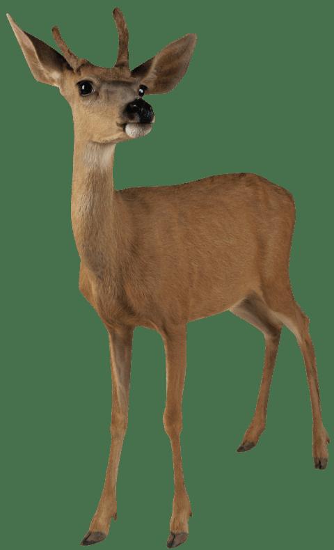 Deer clipart golden deer. Brown standing png free