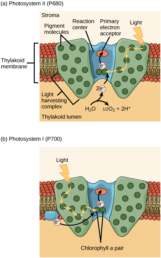 Lamp clipart radiant energy. Overview of photosynthesis boundless