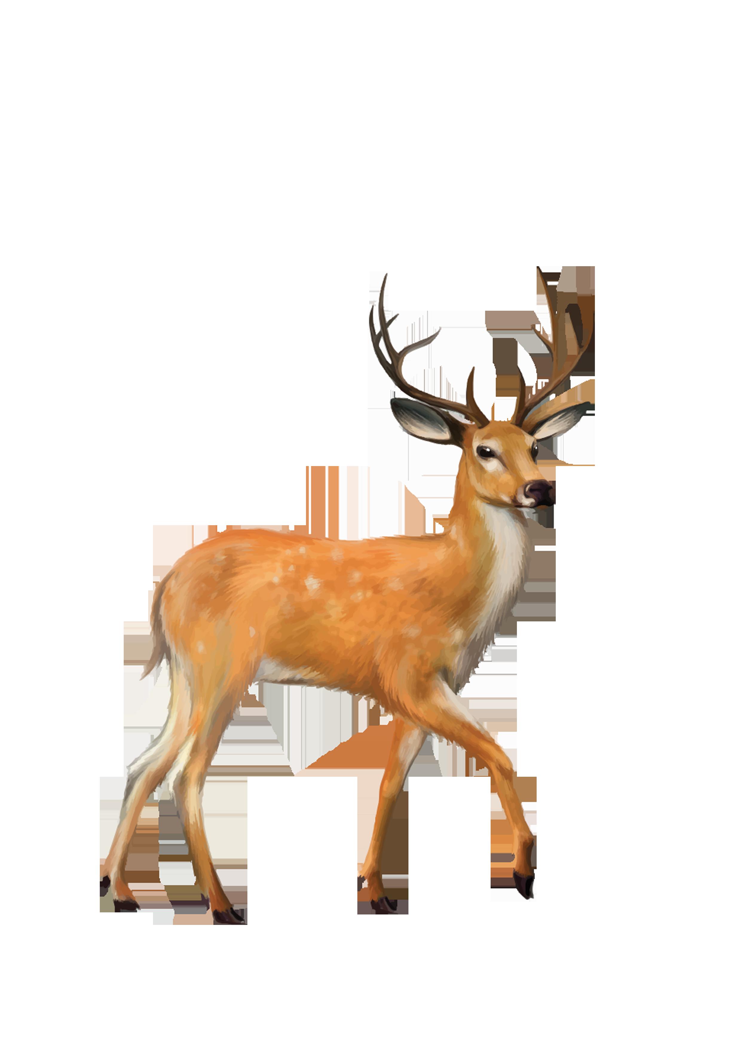 White tailed clip art. Deer clipart mule deer