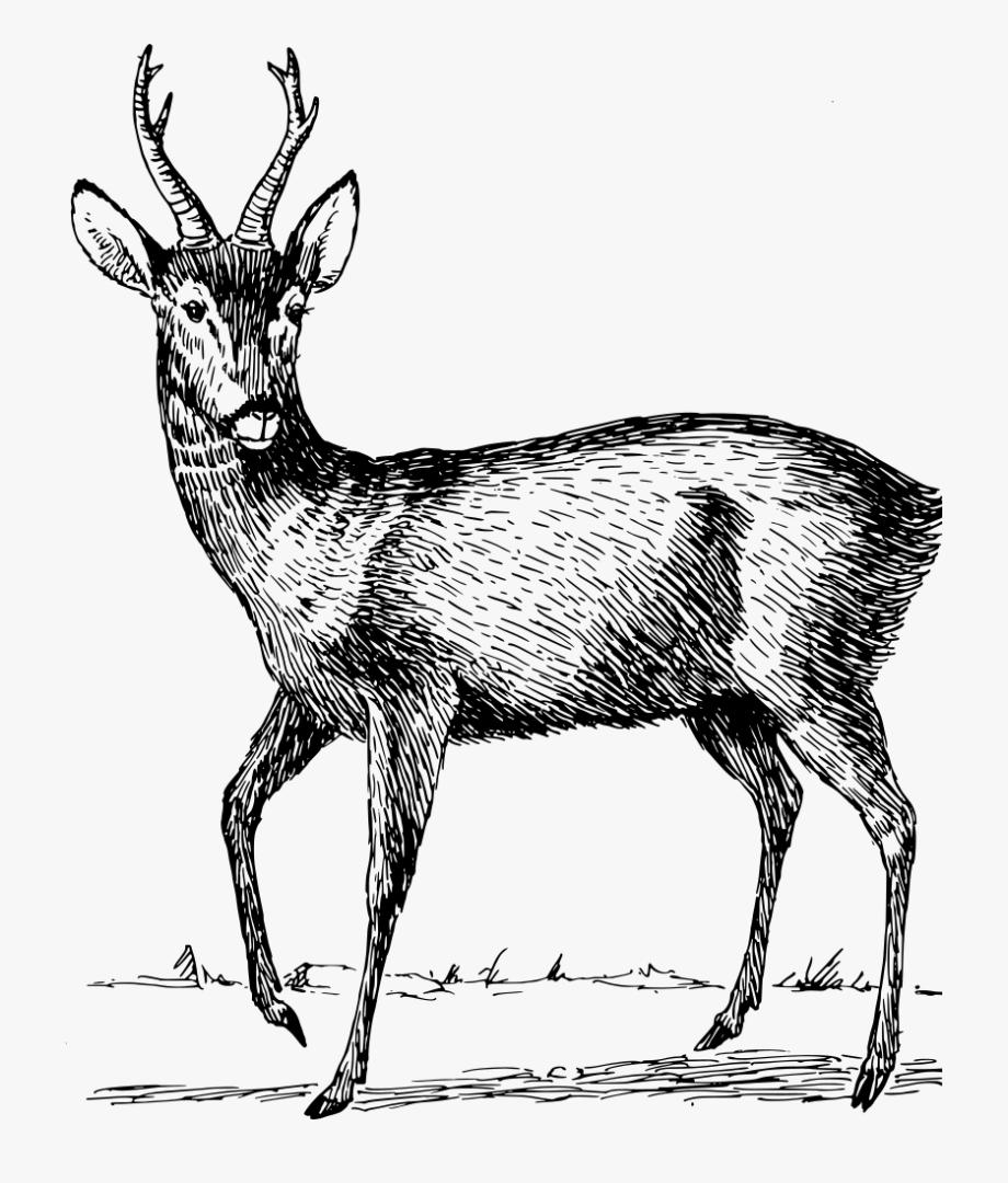 Clip art details free. Deer clipart roe deer