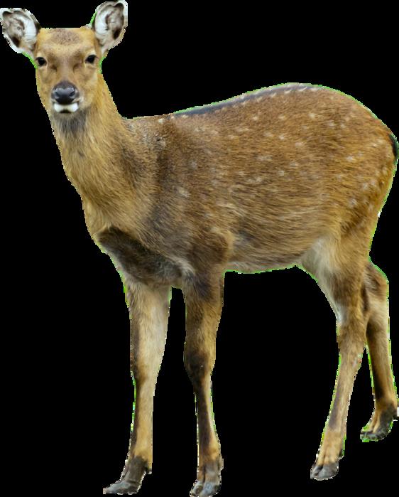 Png images free pngs. Deer clipart roe deer