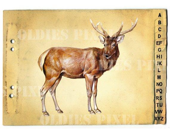 Deer clipart sambar deer. Vintage cervus unicolor animal