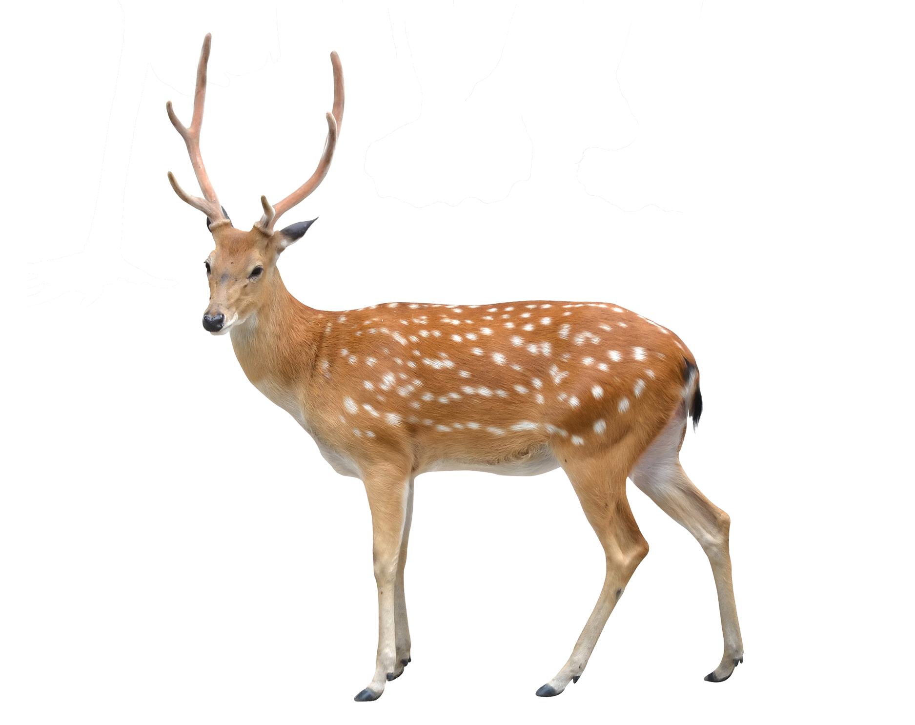 Stock photography clip art. Deer clipart sika deer
