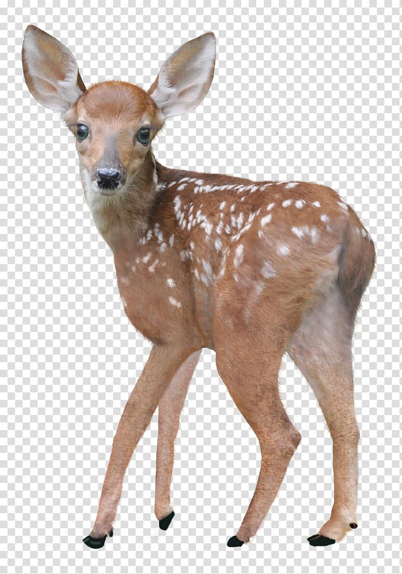 Deer clipart spotted deer. Deers brown and white