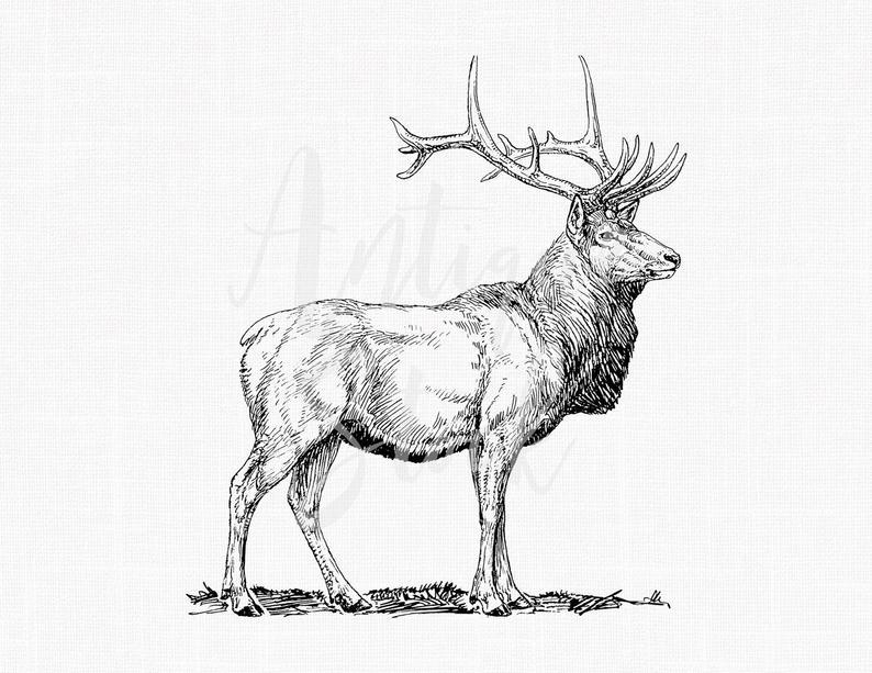 Deer clipart wapiti. Digital download elk line