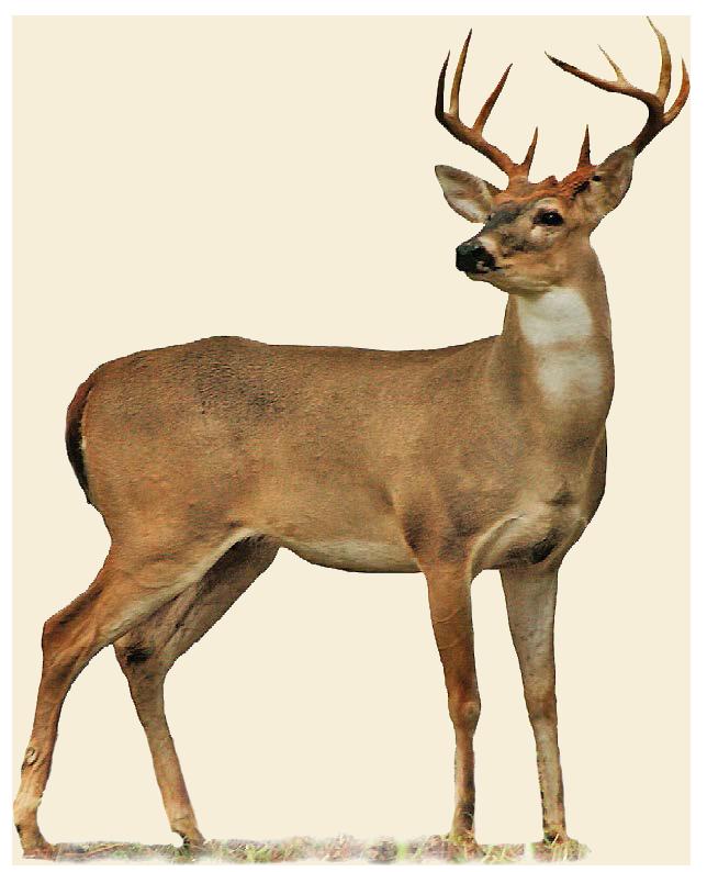 Deer clipart whitetail deer. Hunting oklahoma department of