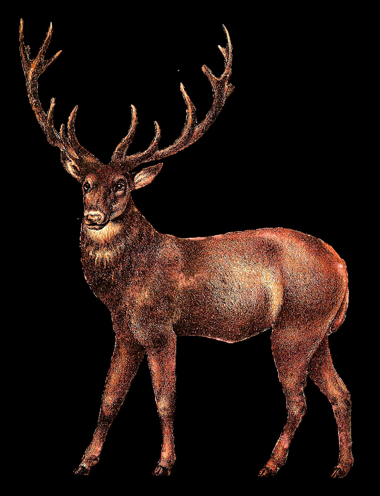 Moose clipart elk. White tailed deer clip