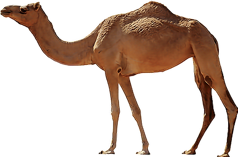 Desert clipart arab desert. Camel animal eid muslim