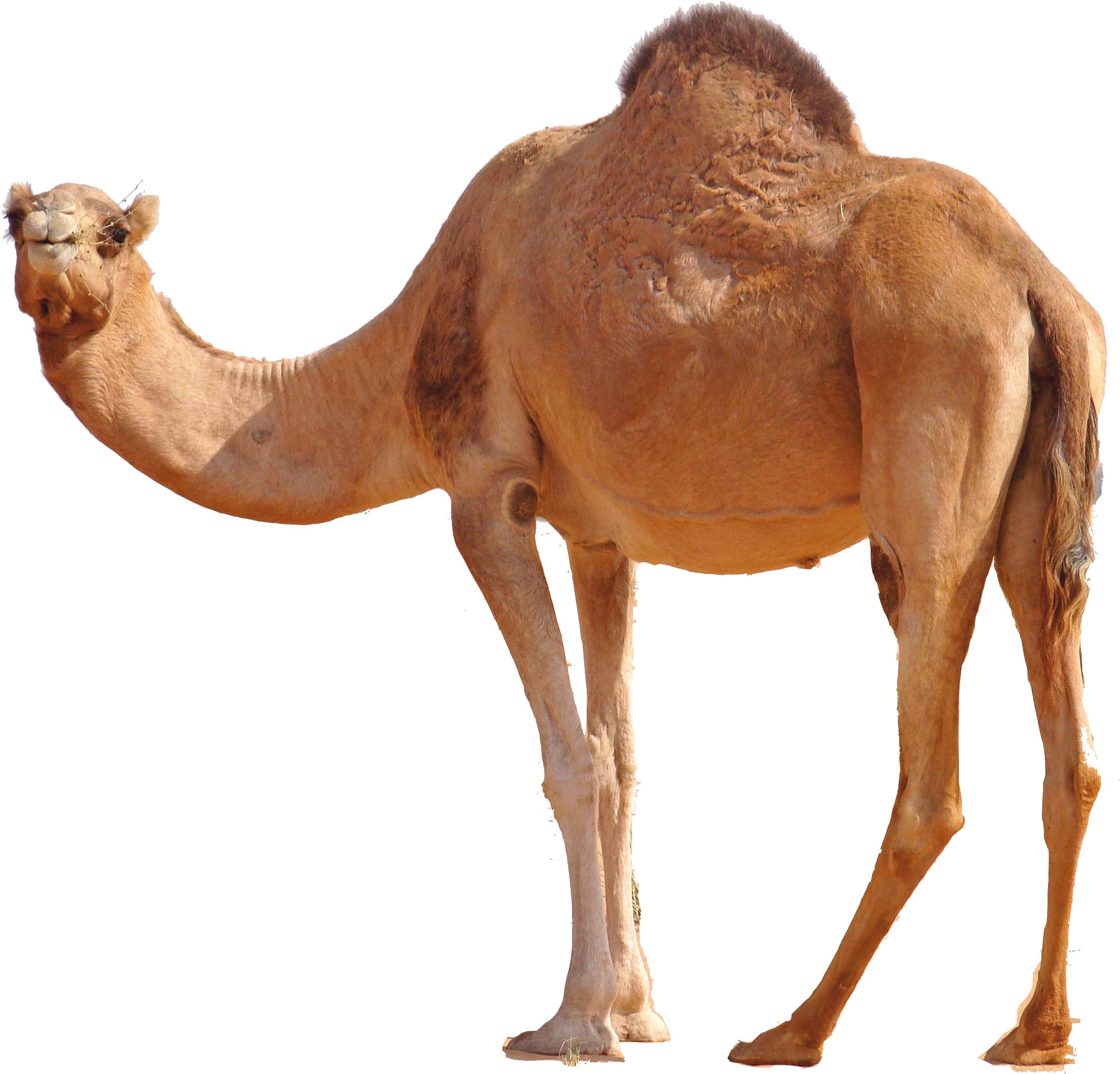 Standing png image purepng. Desert clipart desert camel