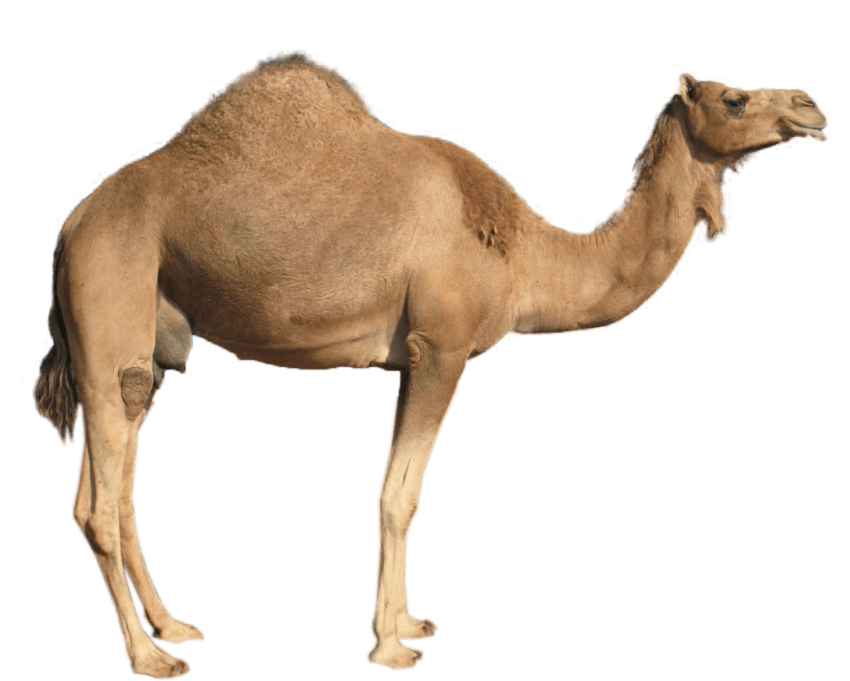 Desert clipart desert camel. Png free images toppng